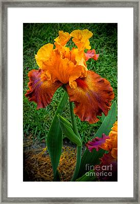 Bearded Lady Framed Print
