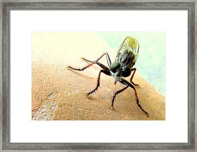 Bearded Robber Fly Framed Print