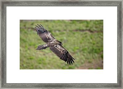 Bearded Vulture In Flight Framed Print by Peter J. Raymond