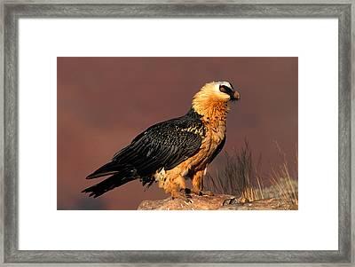 Bearded Vulture Or Lammergeier Framed Print by Nigel Dennis