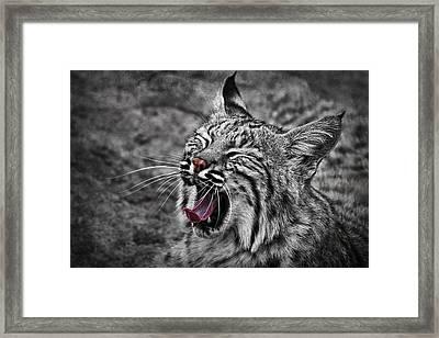 Bearizona Bobcat Framed Print by Priscilla Burgers
