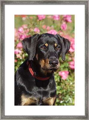 Beauceron Labrador Mix Framed Print