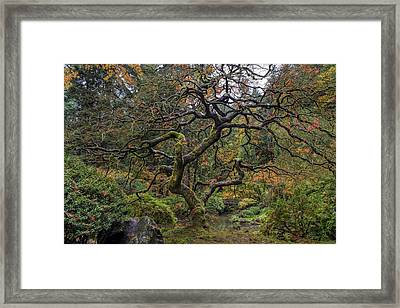 Beautiful And Bare Japanese Lace-leaf Maple Tree Framed Print