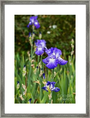 Beautiful And Colorful Iris. Framed Print by Jamie Pham