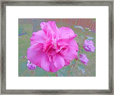 Beautiful Blooming Fuschia Rose Framed Print by Skyler Tipton