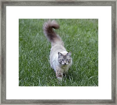 Beautiful Blue Eyed Cat Walking In Grass Framed Print