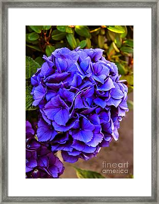 Beautiful Blue Hydrangea Framed Print