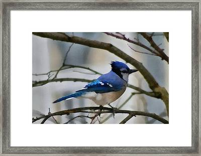 Beautiful Blue Jay Framed Print by Dan Sproul