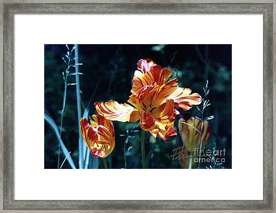 Framed Print featuring the photograph Gorgeous Tulip by Phyllis Kaltenbach
