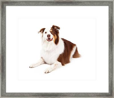 Beautiful Border Collie Laying Down Framed Print by Susan Schmitz