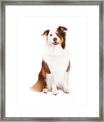 Beautiful Border Collie Sitting Framed Print by Susan Schmitz