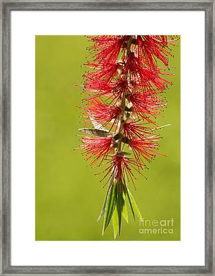 Beautiful Bottle Brush Flower Framed Print