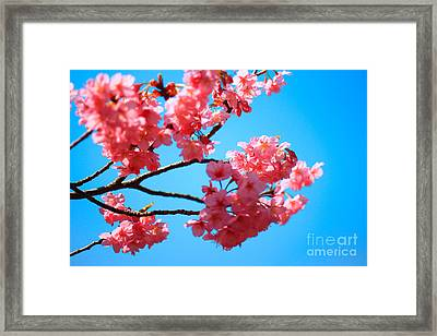 Beautiful Bright Pink Cherry Blossoms Against Blue Sky In Spring Framed Print
