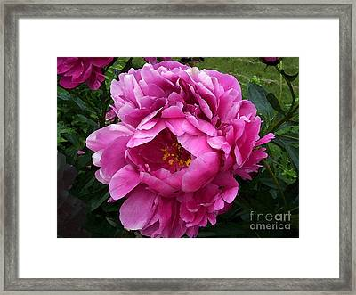 Beautiful Bright Pink Frilly Peony Framed Print by Maureen Tillman