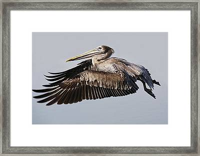 Beautiful Brown Pelican In Flight Framed Print by Paulette Thomas