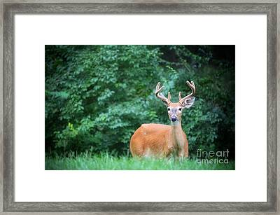 Beautiful Buck  Framed Print