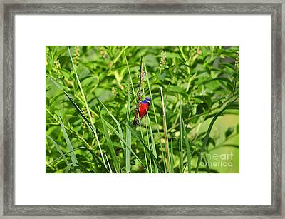 Beautiful Bunting Framed Print by Al Powell Photography USA