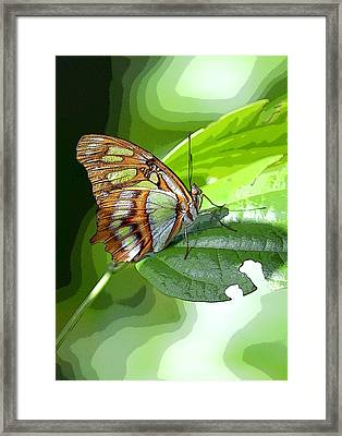 Beautiful  Butterfly In Mexico Framed Print