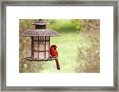 Framed Print featuring the photograph Beautiful Cardinal by Trina  Ansel