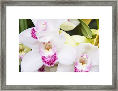 Beautiful Cattleya White Orchids Framed Print by Daphne Sampson
