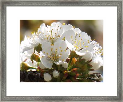 Beautiful Cherry Blossoms Framed Print