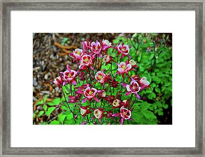 Beautiful Columbine   Framed Print