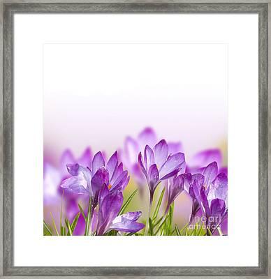 Beautiful Crocus Flower Framed Print by Boon Mee