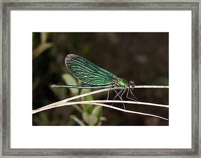 Beautiful Demoiselle Damselfly Framed Print by Bob Gibbons