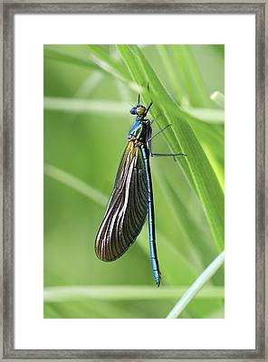 Beautiful Demoiselle Damselfly Framed Print by Science Photo Library
