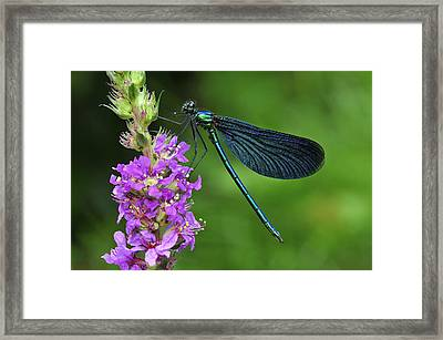 Beautiful Demoiselle Male Switzerland Framed Print
