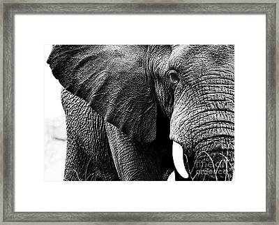 Beautiful Elephant Black And White 1 Framed Print