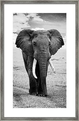Beautiful Elephant Black And White 17 Framed Print