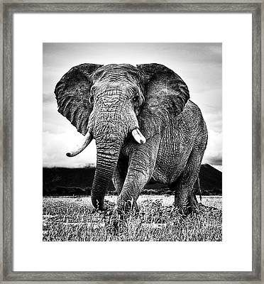 Beautiful Elephant Black And White 33 Framed Print