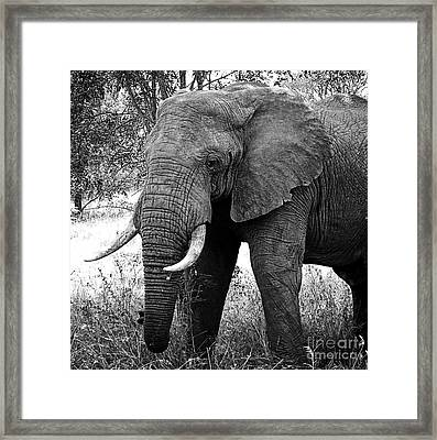 Beautiful Elephant Black And White 59 Framed Print