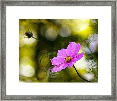 Framed Print featuring the photograph Beautiful Evening Pink Cosmos Wildflower by Tracie Kaska