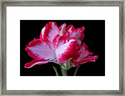 Beautiful Exotic Tulip Framed Print by Garry Gay