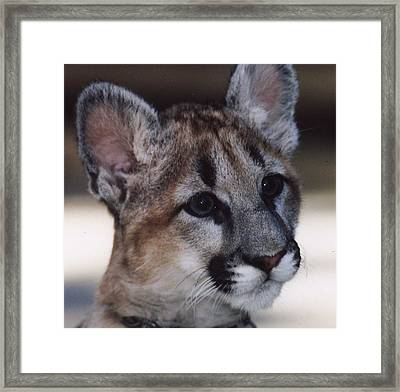 Framed Print featuring the photograph Beautiful Face-cougar Cub by Myrna Walsh