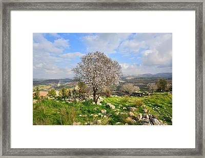 Beautiful Flowering Almond Tree Framed Print