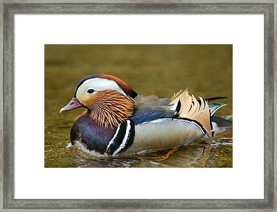 Beautiful Fowl Framed Print by Pat Knieff