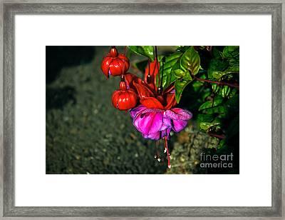 Beautiful Fuchsia Framed Print by Robert Bales