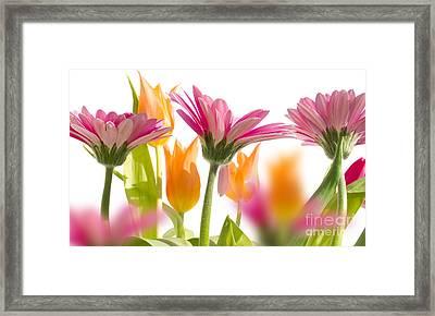 beautiful Gerber flower Framed Print by Boon Mee