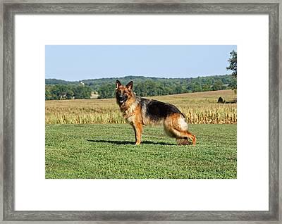 Beautiful German Shepherd Framed Print by Sandy Keeton