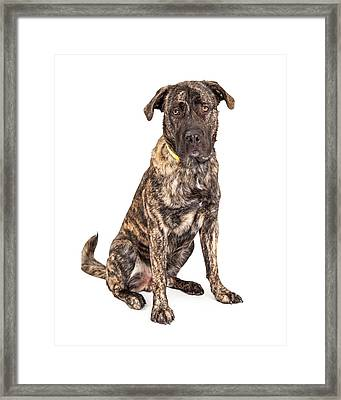 Beautiful Giant Breed Dog Sitting Framed Print