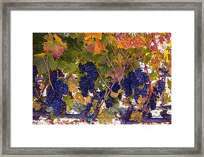 Beautiful Grape Harvest Framed Print by Garry Gay