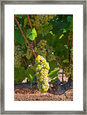 Beautiful Grapes From Wine Vineyards In Napa Valley California. Framed Print
