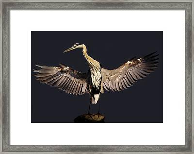 Beautiful Great Blue Heron - # 16 Framed Print by Paulette Thomas