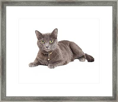 Beautiful Grey Domestic Shorthair Cat Laying Framed Print