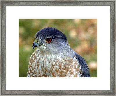 Beautiful Hawk Framed Print by Teresa Schomig