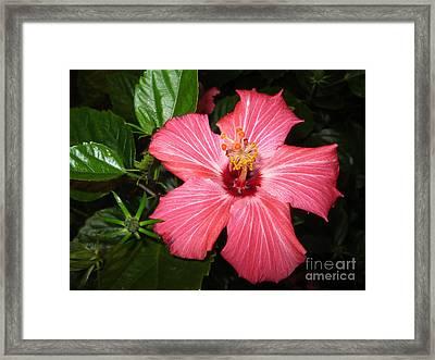 Beautiful Hibiscus Framed Print