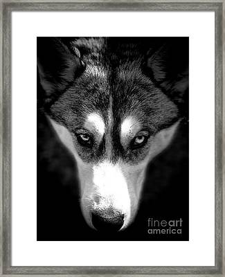 Beautiful Husky Framed Print